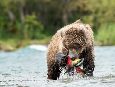 A landscape photo of a Kamchatka brown bear catches a massive salmon.