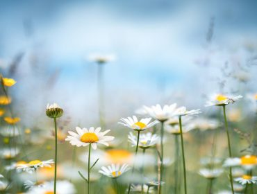 Spring meadow with golden daisies.