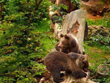 A portrait photo of bear cubs on tree trunk with Mother bear in background