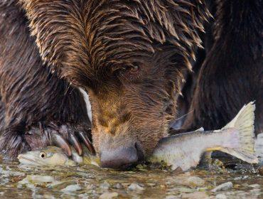 A landscape photo of a Bear with Salmon close up Coastal Brown Bear , Grizzly Ursus arctos Katmai National Park , Alaska