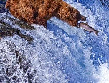 A portrait photo of a bear hunting Salmon at river