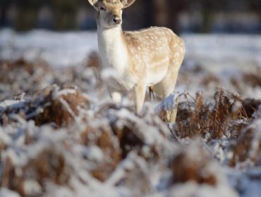 Fallow Deer stag portrait in the melting winter snow