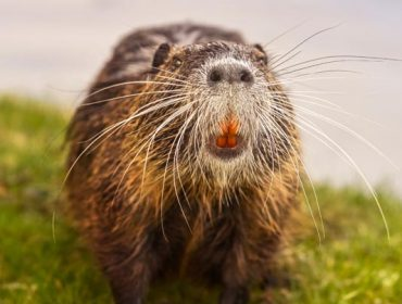 Beaver #4