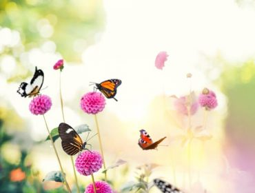 Colorful butterflies flying around pink flowers in the garden.